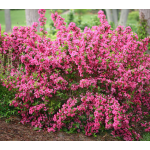 Weigela Sonic Bloom® Pink