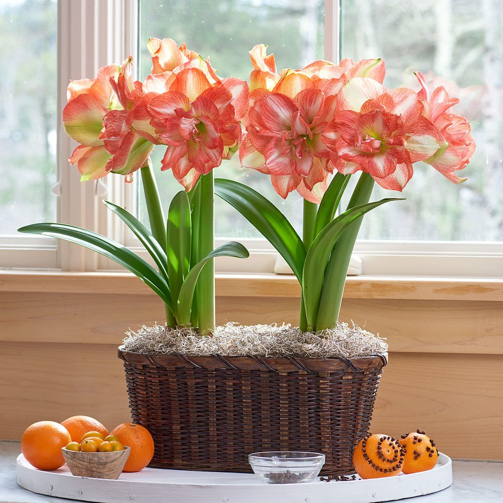 Amaryllis 'Beautiful Emotion'