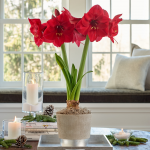 Amaryllis 'Winter Cranberry'