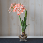 Amaryllis Dancing Queen®, one bulb with hurricane vase kit