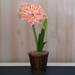 Amaryllis Dancing Queen®, one bulb in a woven basket