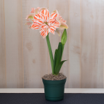 Amaryllis Dancing Queen®, one bulb in a nursery pot
