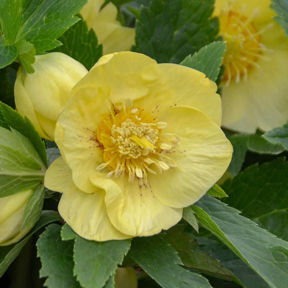 Helleborus Honeymoon® 'California Dreaming'