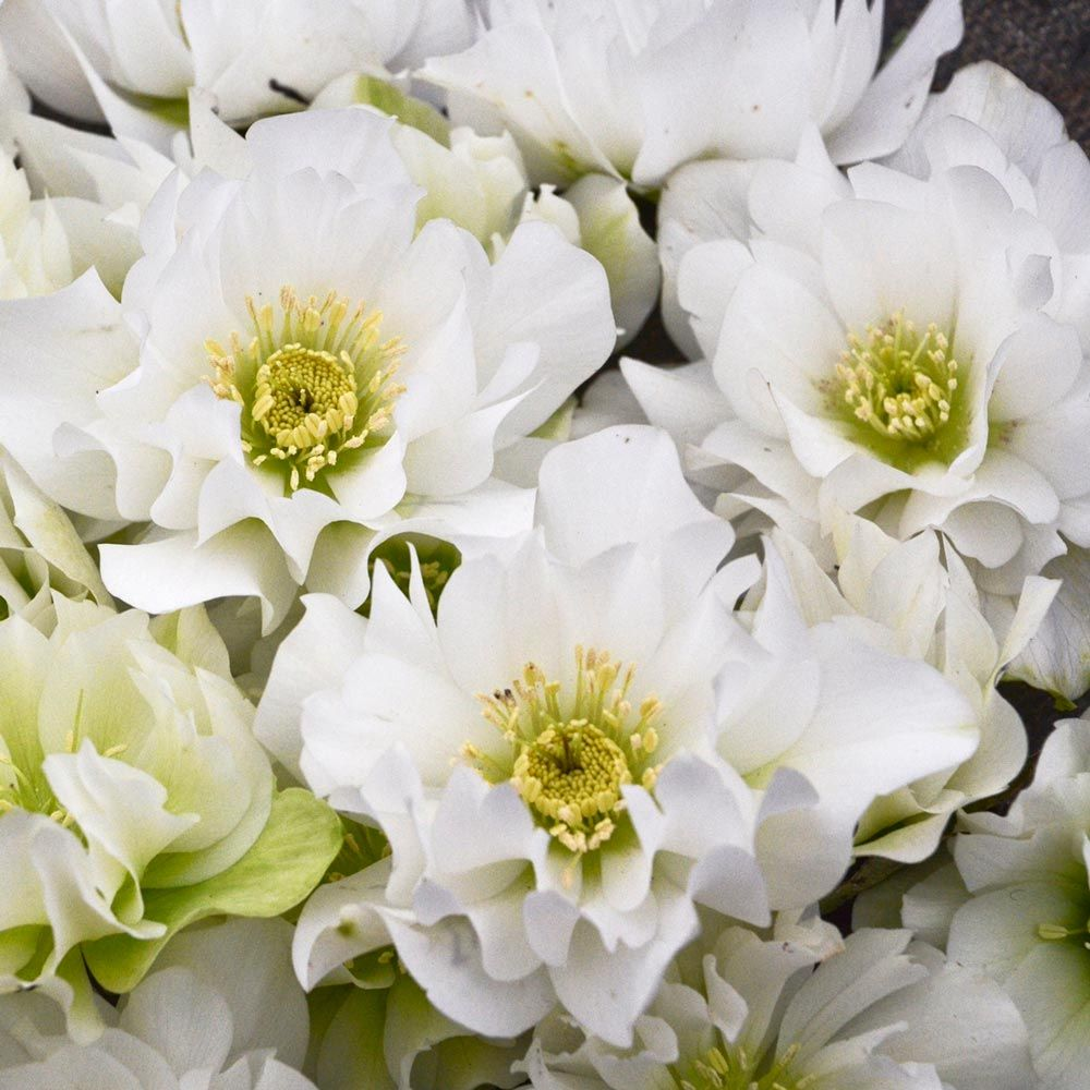 Helleborus Wedding Party® 'Wedding Bells'