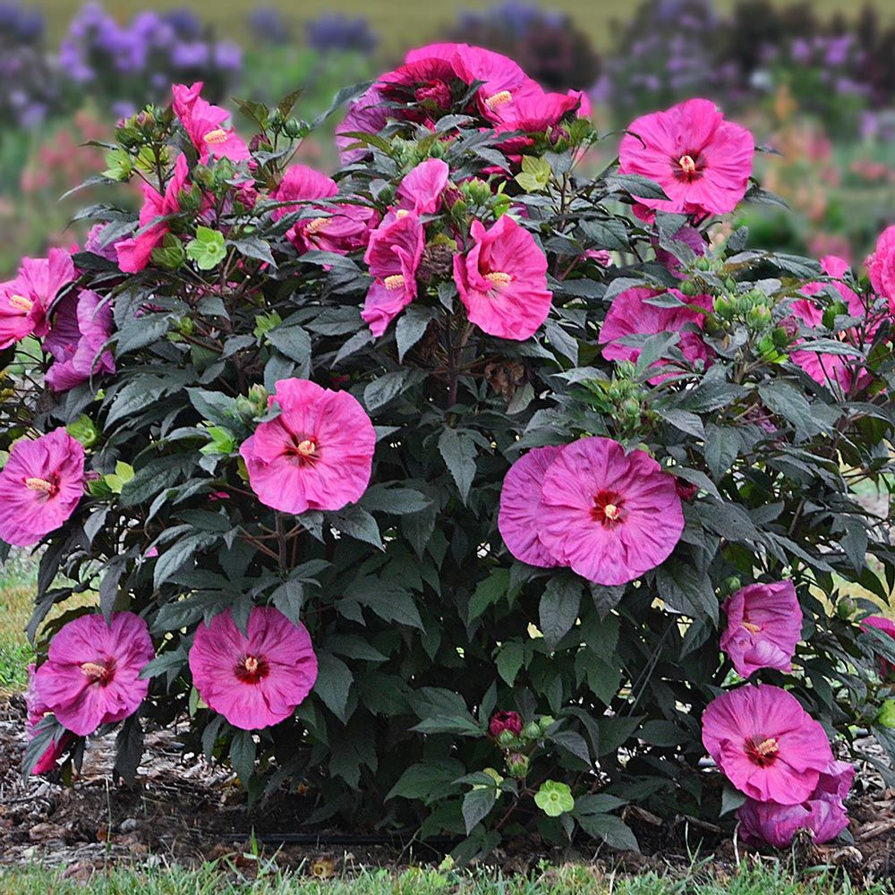Hibiscus Summerific® 'Berry Awesome'