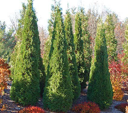 Thuja occidentalis North Pole®