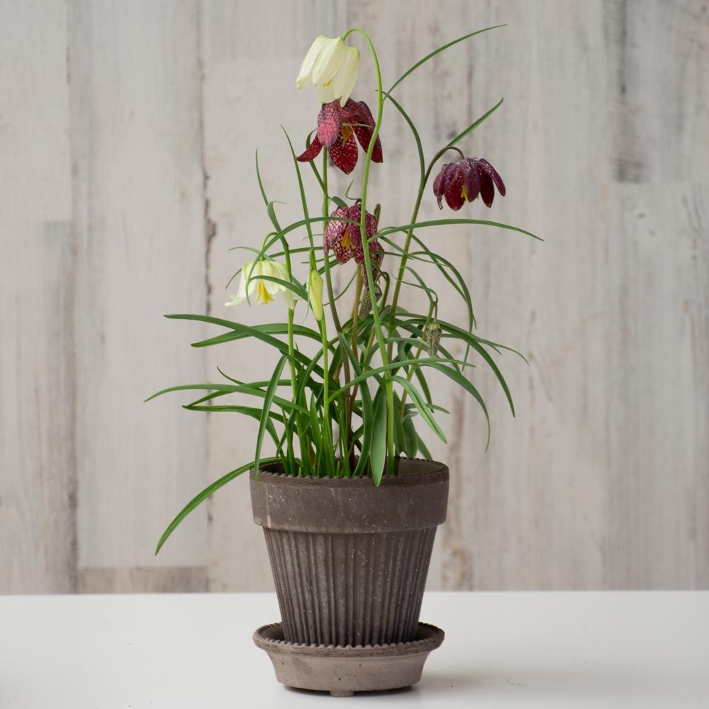 Fritillaria Bulb Collection, 8 bulbs in Gray Parisian Pot and saucer