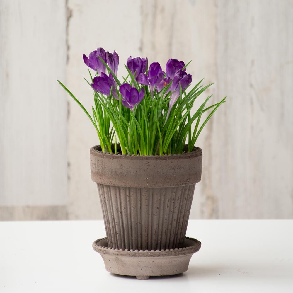Crocus 'Ruby Giant' Bulb Collection, 9 bulbs in Gray Parisian Pot and saucer