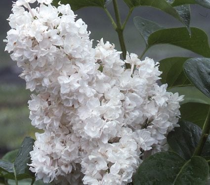 syringa vulgaris beauty of moscow white flower farm
