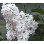 Syringa vulgaris Beauty of Moscow