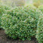 Ilex glabra Strongbox®