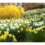 The Works Daffodil Mix by the Crate for the South