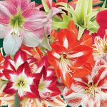 Thirty Wonders of the Amaryllis World