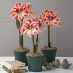Bicolor Amaryllis in Nursery Pots to 3 Different Addresses - Standard Shipping Included