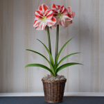Amaryllis 'Clown'