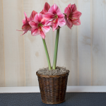 Amaryllis 'Fantasy,' one bulb in a woven basket