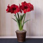 Amaryllis 'Ferrari,' one bulb in a woven basket