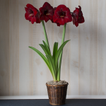 Amaryllis 'Grand Diva,' one bulb in a woven basket