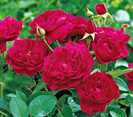 Rose Darcey Bussell
