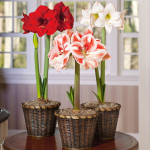 Three Months of Colorful Amaryllis, December - February
