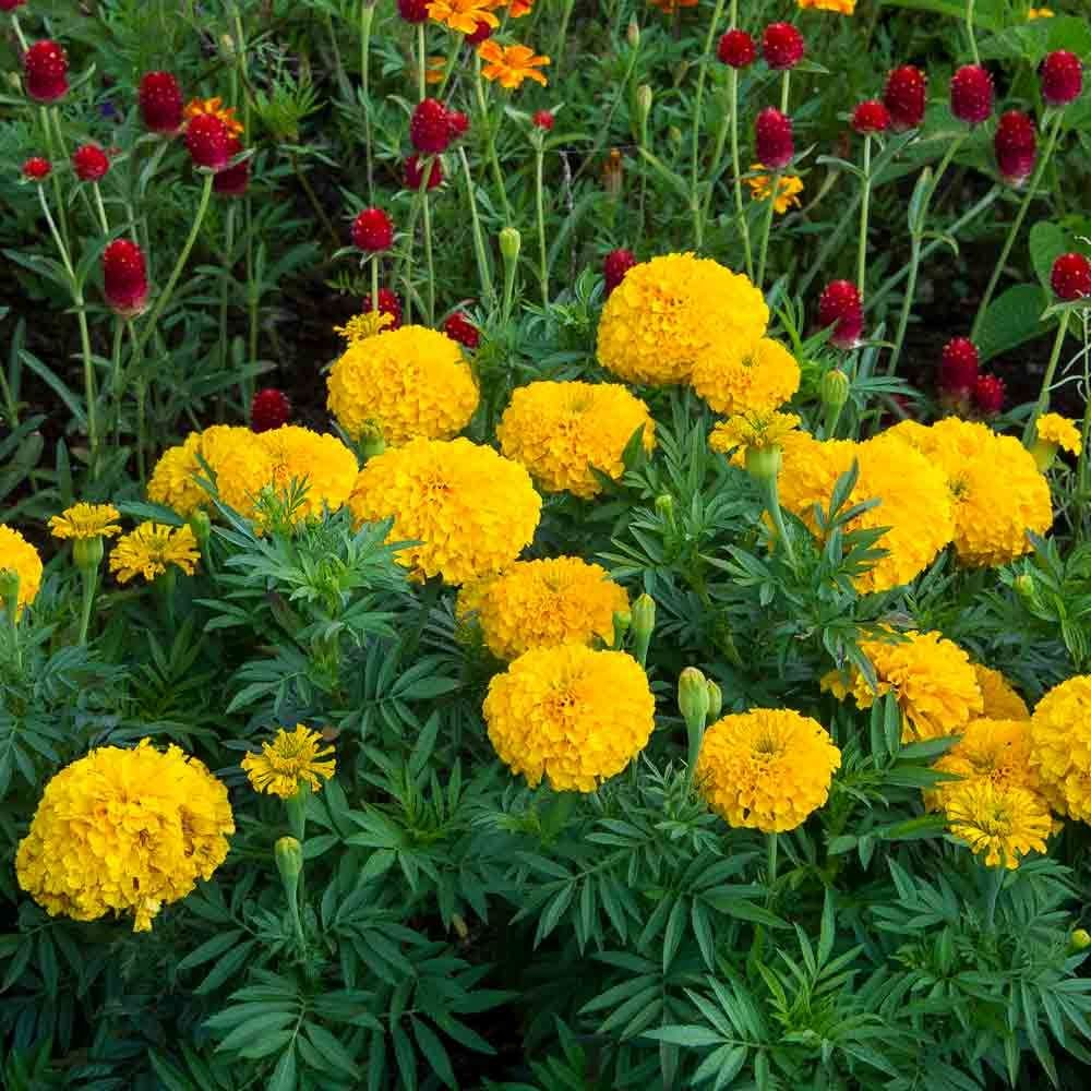 Tagetes erecta 'Big Duck Gold'