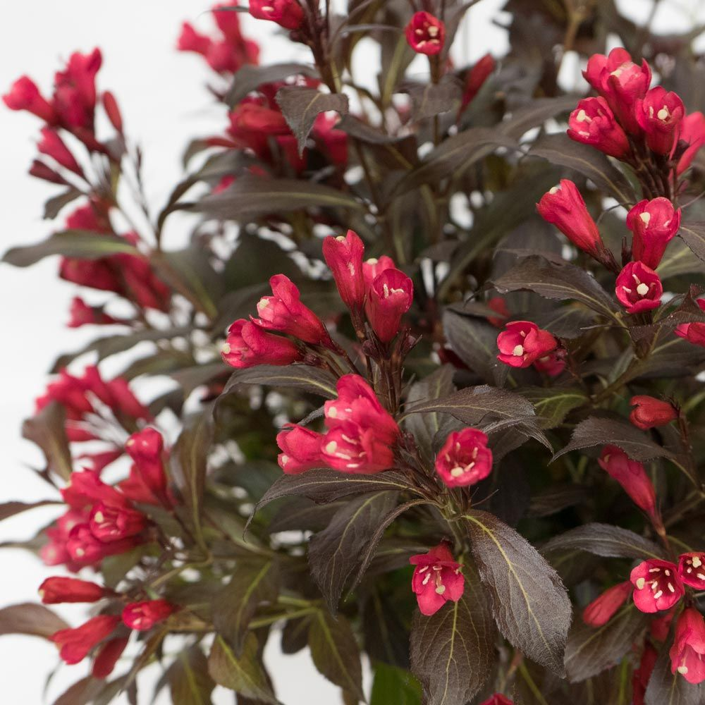 Weigela florida Electric Love™