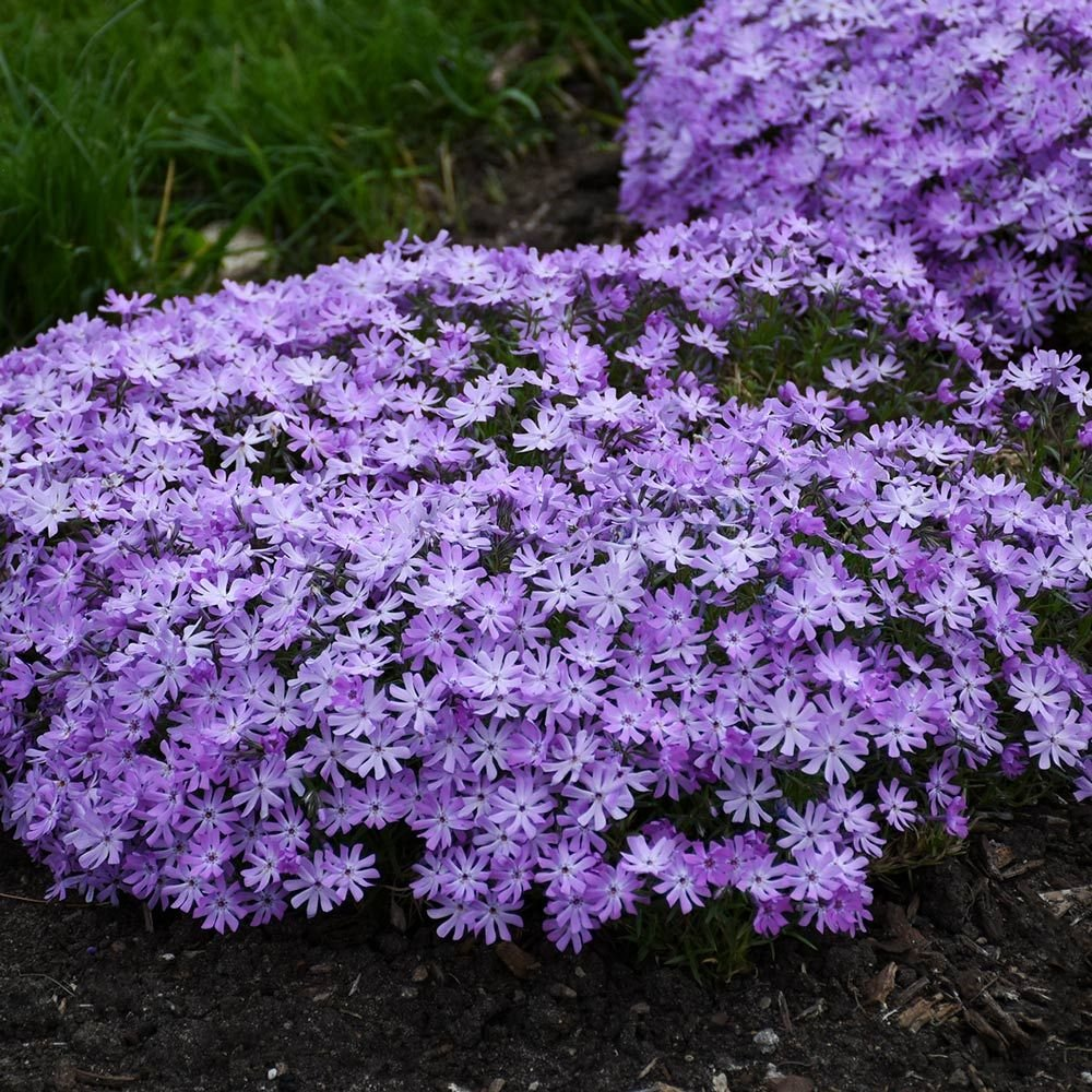 Phlox 'Bedazzled Lavender'