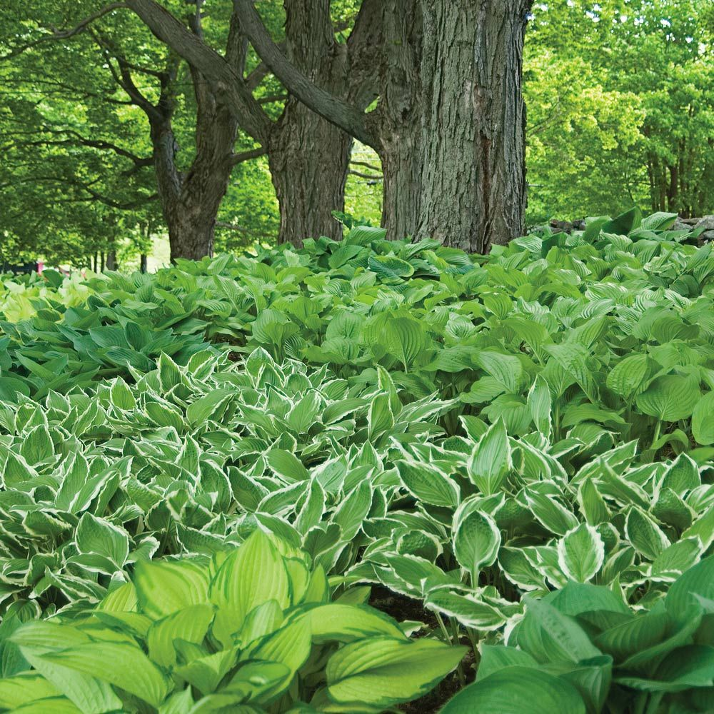 Emerald Isle, Hosta Collection