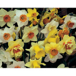 Narcissus for Connoisseurs