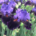 Iris germanica 'Violet Turner' - Reblooming