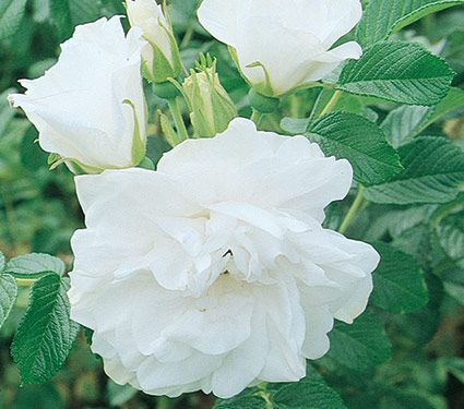 Rose 'Blanc Double de Coubert'
