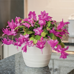 Holiday Cactus Polka Dancer in cream cachepot