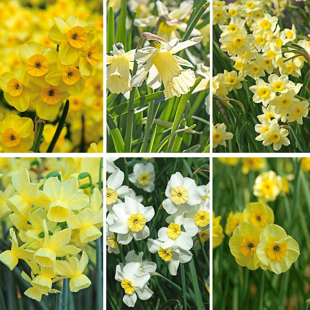 Award-winning Miniature Daffodils