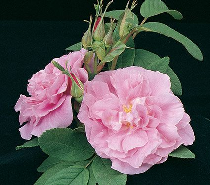 Rose rugosa Therese Bugnet