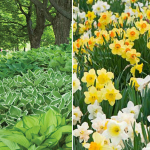 Collaboration for Part Shade for the South - Daffodils & Hosta