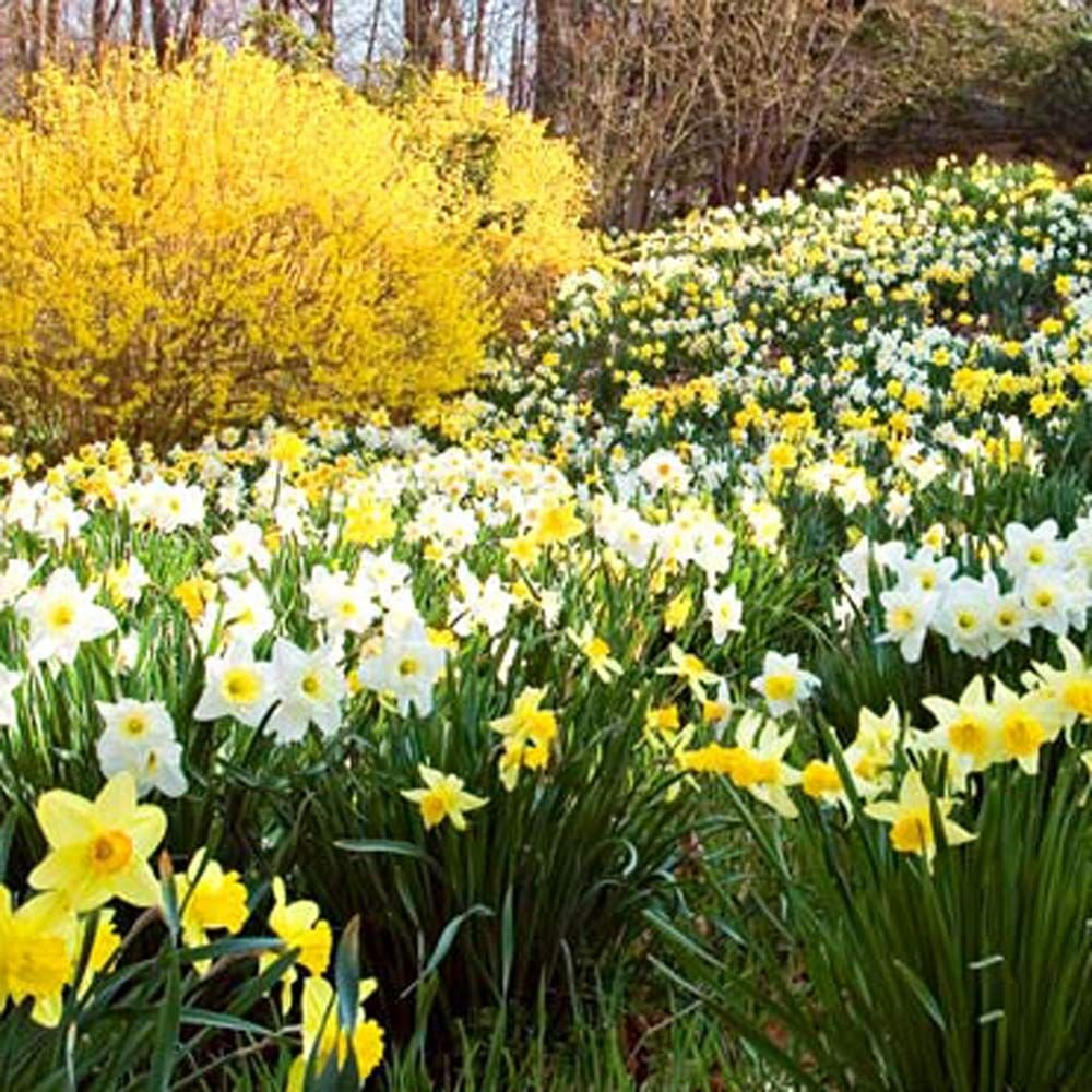 The Works Daffodils for the South