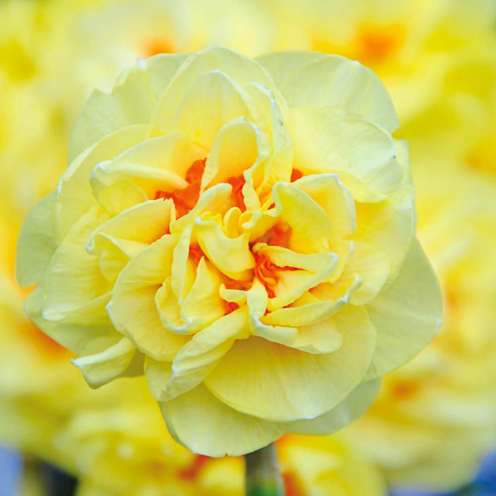 Narcissus 'English Style'