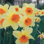 Narcissus 'Fortissimo', Landscape Size