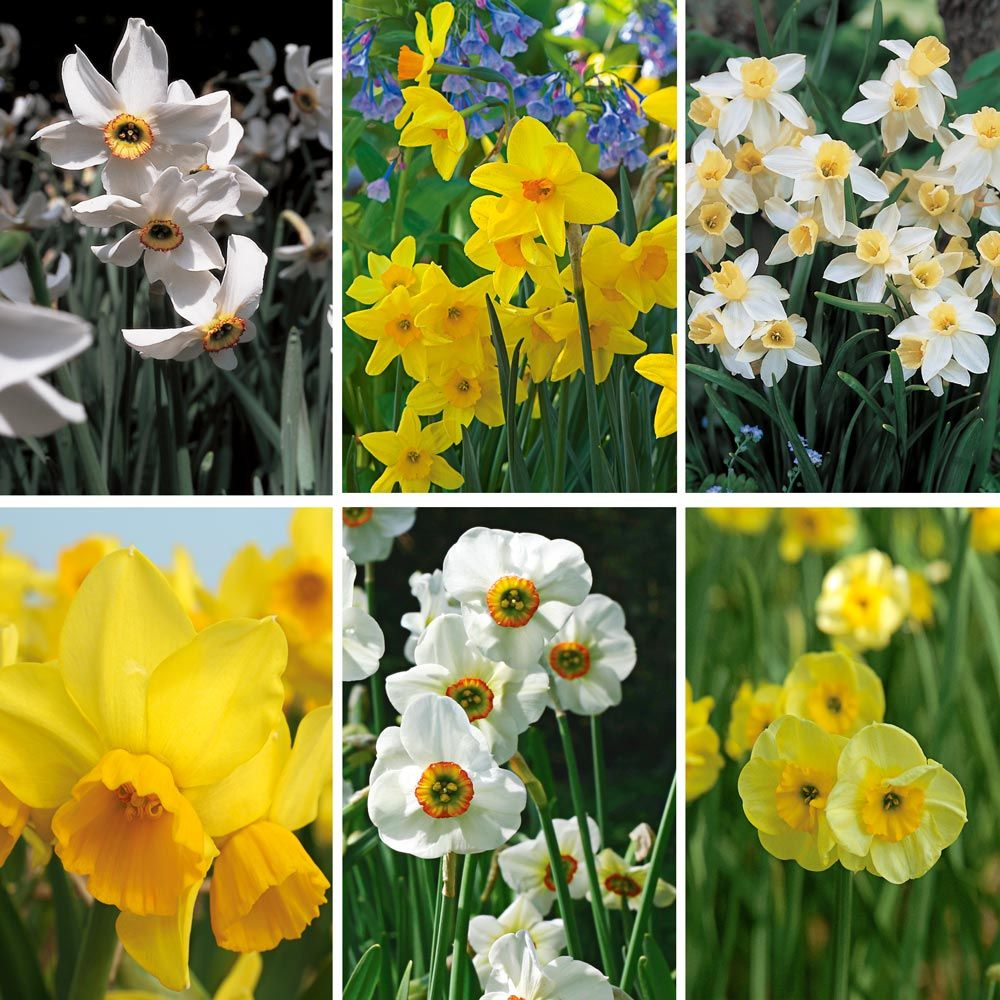 Scent of Spring Daffodil Mix