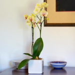 Yellow Moth Orchid in square white cachepot