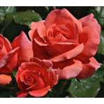 Rose Easy Elegance® Sweet Fragrance