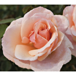Rose Mother of Pearl®