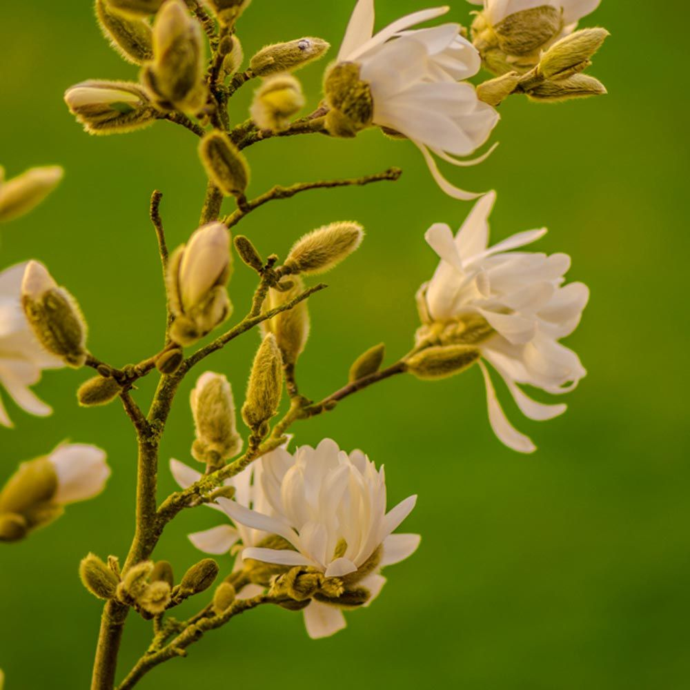 Star Magnolia Flowering Branches