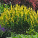 Baptisia Decadence® 'Lemon Meringue'