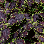 Coleus 'Black Magic'
