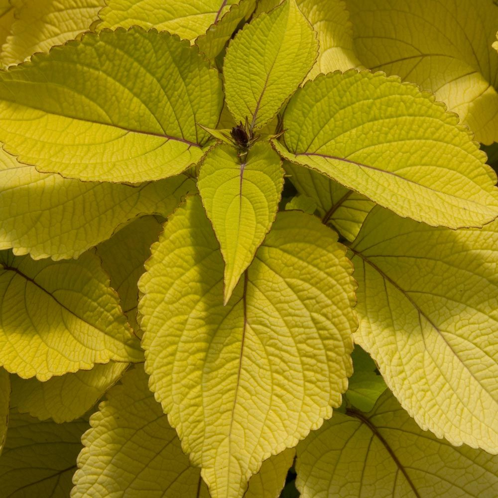 Coleus Stained Glassworks™ Big Blonde