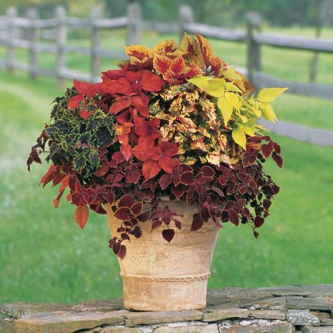 Coleus Confetti Classic Annual Collection