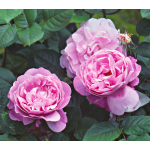 Rose Mary Rose®