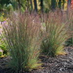 Ornamental Grass: Schizachyrium scoparium 'Jazz'