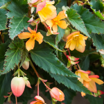 Begonia I'Conia® Lucky Strike
